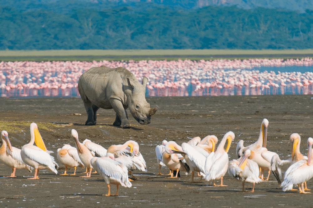 A White Rhino and a Flock of Pelicans at Lake Nakuru National Park, Kenya