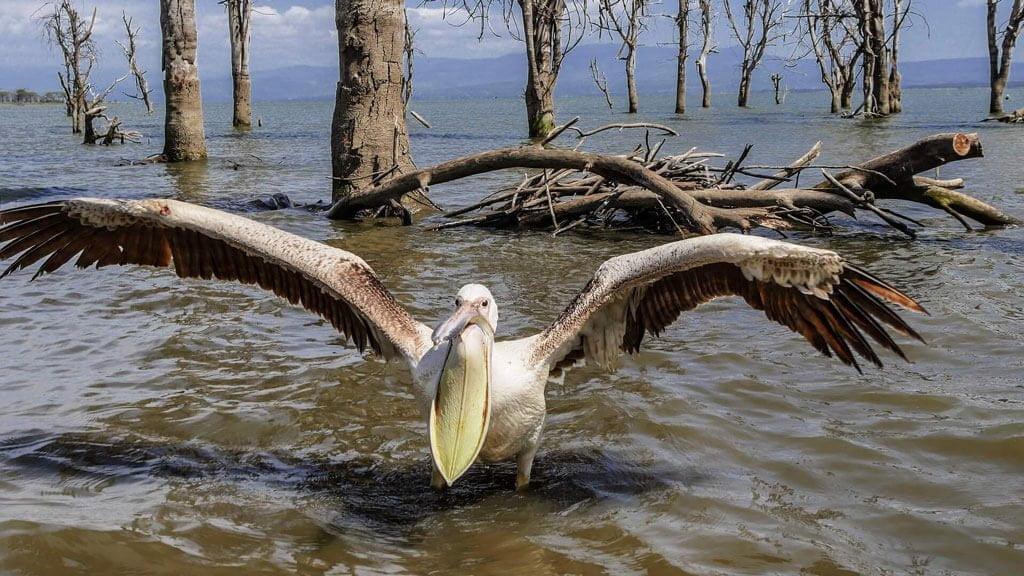 Pelican at Lake Naivasha