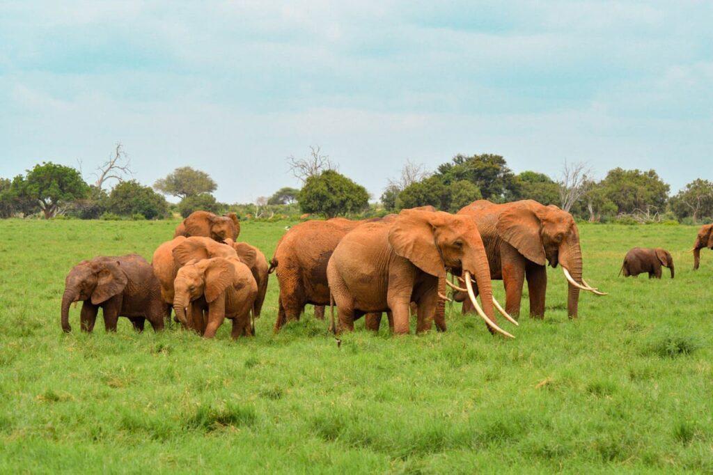 A herd of elephants grazing, Tsavo East National Park, Kenya