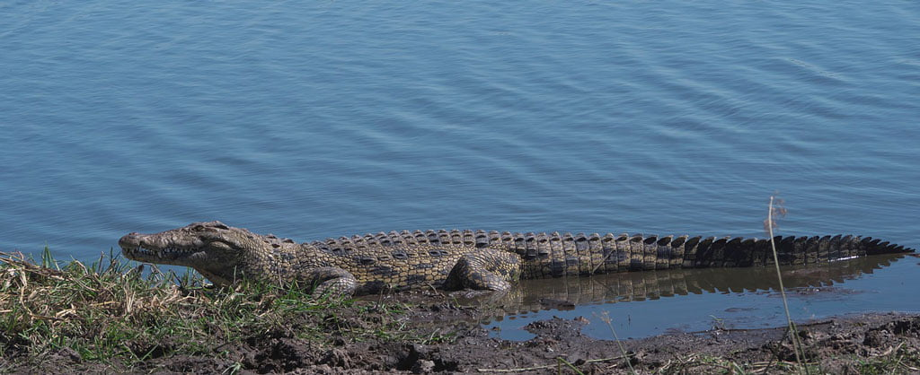Nile Crocodile, Lake Turkana in Northern Kenya