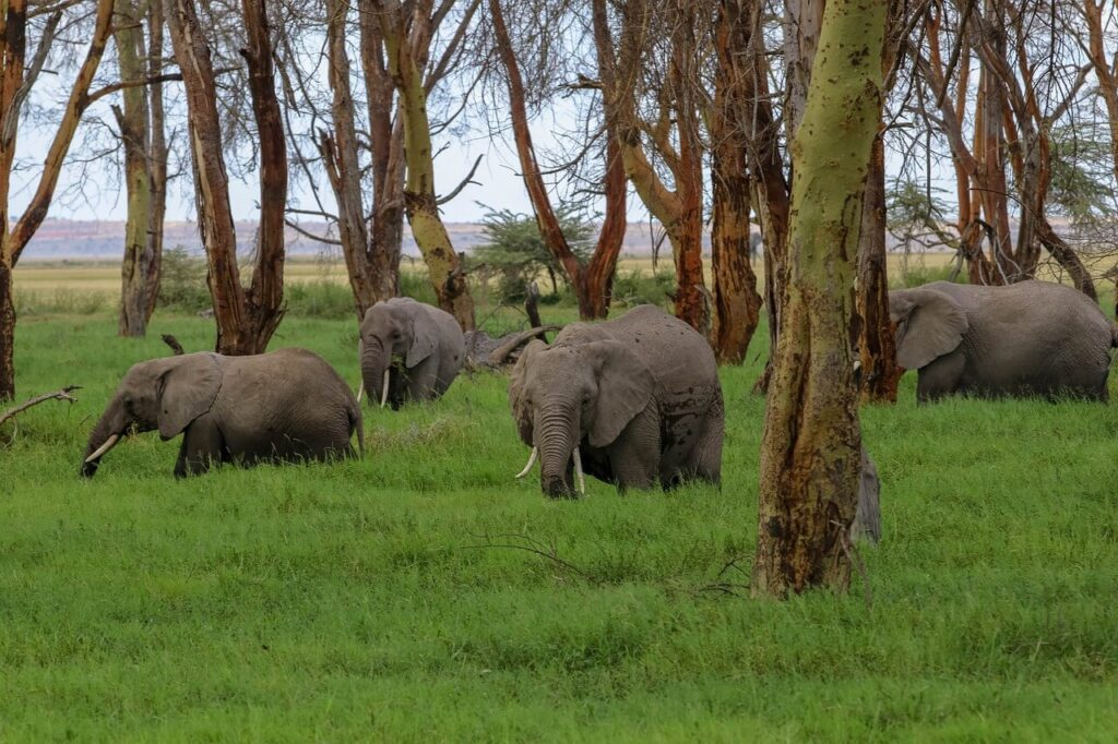 A Herd of Elephants Grazing in the Amboseli National Park